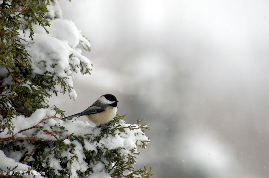 Winter bird images - photo#11